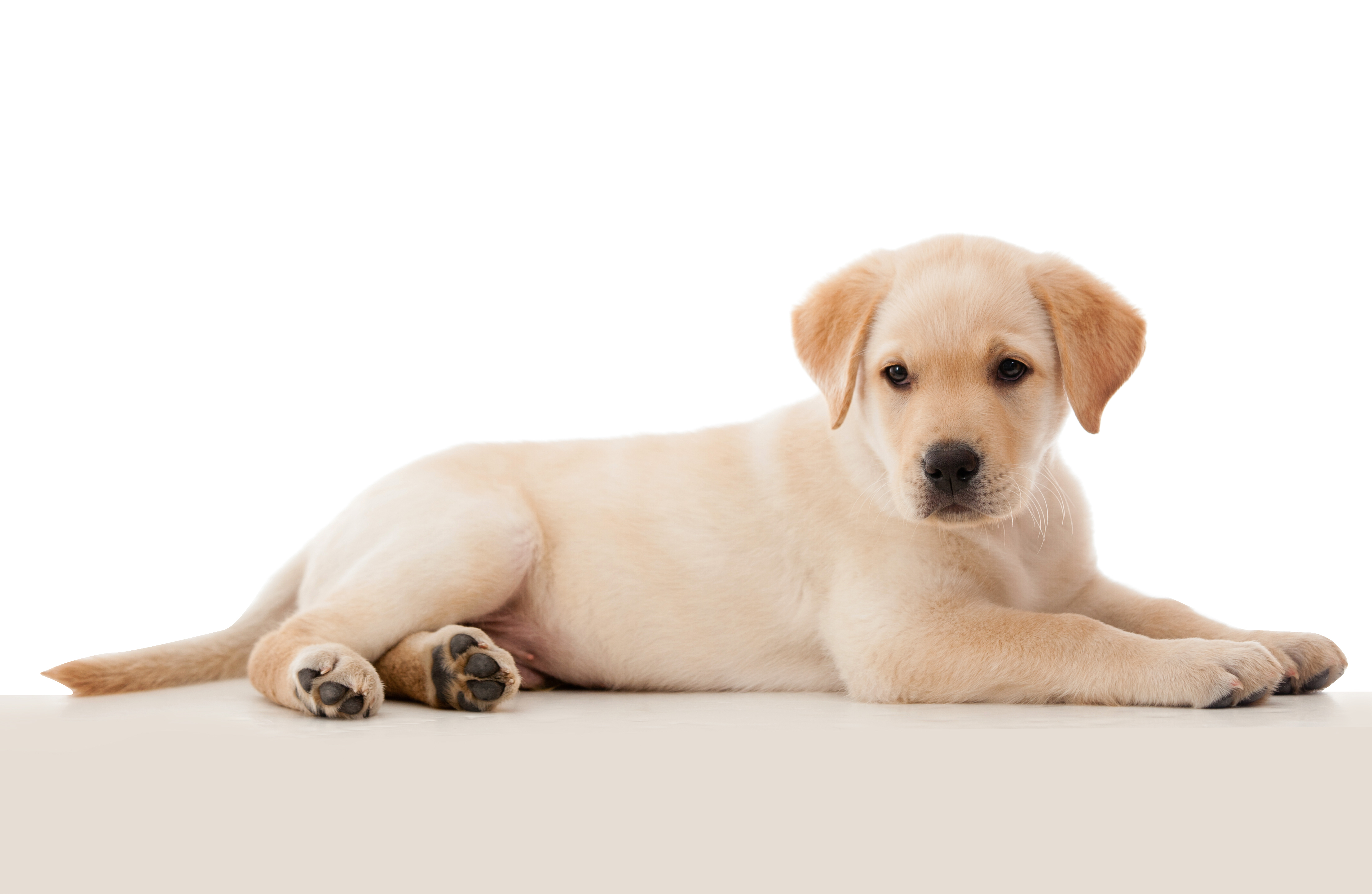 Beautiful puppy laying down - isolated over a white background